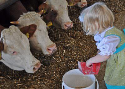 Kühe füttern auf dem Springerhof