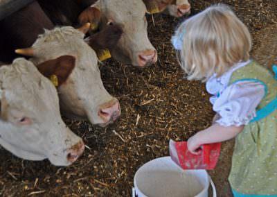 Kühe füttern bei uns auf dem Hof