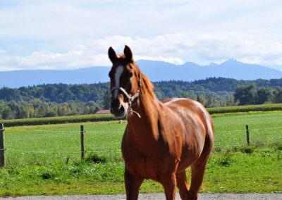 Pferde auf dem Springerhof